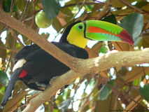 τιμολογημένη καρίνα toucan Στοκ Φωτογραφίες