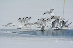 Τιμολογημένοι δαχτυλίδι γλάροι που ανασηκώνουν το λεπτό πάγο λιμνών Στοκ εικόνες με δικαίωμα ελεύθερης χρήσης