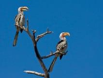τιμολογημένος hornbill κίτρινο&sig Στοκ Εικόνες