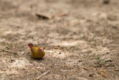 τιμολογημένο θηλυκό finch κό&kappa Στοκ φωτογραφίες με δικαίωμα ελεύθερης χρήσης
