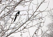 τιμολογημένο μαύρο σκαρφαλωμένο κίσσα δέντρο Στοκ εικόνα με δικαίωμα ελεύθερης χρήσης
