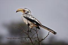 τιμολογημένο hornbill δέντρο αγ&ka Στοκ Φωτογραφίες