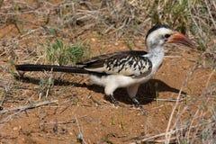 τιμολογημένο hornbill κόκκινο Στοκ εικόνα με δικαίωμα ελεύθερης χρήσης