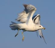 τιμολογημένο seagull δαχτυλιδιών Στοκ εικόνες με δικαίωμα ελεύθερης χρήσης