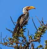τιμολογημένος hornbill κίτρινο&sig Στοκ φωτογραφία με δικαίωμα ελεύθερης χρήσης