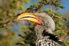 τιμολογημένος hornbill κίτρινο&sig Στοκ εικόνα με δικαίωμα ελεύθερης χρήσης