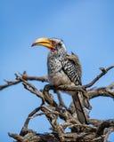 τιμολογημένος hornbill κίτρινο&sig Στοκ φωτογραφίες με δικαίωμα ελεύθερης χρήσης