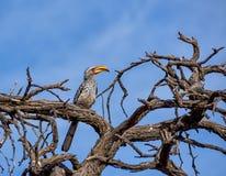 τιμολογημένος hornbill κίτρινο&sig Στοκ Φωτογραφία