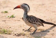 τιμολογημένος hornbill κόκκινο Στοκ Εικόνες