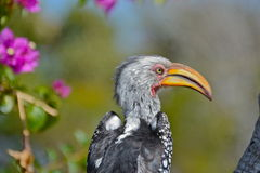τιμολογημένος hornbill νότιος κ Στοκ εικόνες με δικαίωμα ελεύθερης χρήσης