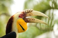 τιμολογημένος hornbills κίτρινο&si Στοκ Φωτογραφία