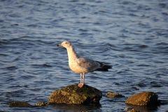 Τιμολογημένο δαχτυλίδι Seagull γλάρων Στοκ Εικόνα