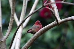 τιμολογημένο firefinch κόκκινο Στοκ φωτογραφία με δικαίωμα ελεύθερης χρήσης