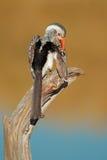 τιμολογημένο hornbill κόκκινο Στοκ Εικόνες