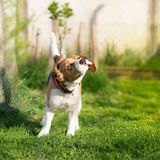 Τινάζοντας σκυλί λαγωνικών Στοκ φωτογραφίες με δικαίωμα ελεύθερης χρήσης
