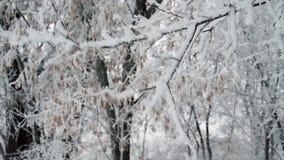 Τινάζοντας το δέντρο που καλύπτεται με το χιόνι απόθεμα βίντεο