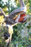 τιτίβισμα kudu στοκ εικόνες