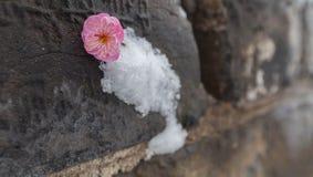 Τοίχοι του χιονιού και του δαμάσκηνου Στοκ Φωτογραφίες