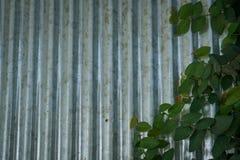 Τοίχοι ψευδάργυρου και αμπέλων στοκ φωτογραφία