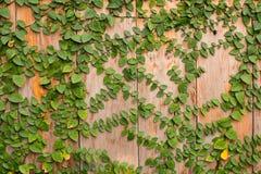Τοίχος αναρριχητικών φυτών Στοκ εικόνα με δικαίωμα ελεύθερης χρήσης