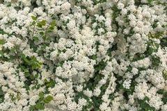 Τοίχος από τα άσπρα λουλούδια Στοκ Φωτογραφία