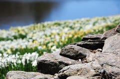 Τοίχος βράχου με θολωμένος daffodil και υπόβαθρο νερού Στοκ Εικόνες
