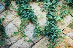 Τοίχος βράχου με τη σερνμένος άδεια κισσών Στοκ Εικόνες