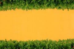 τοίχος θάμνων κίτρινος Στοκ Εικόνες