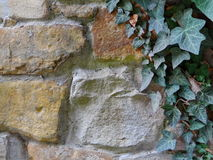 Τοίχος και κισσός πετρών Στοκ Φωτογραφίες