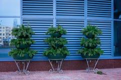 Τοίχος και flowerpots στοκ φωτογραφίες με δικαίωμα ελεύθερης χρήσης