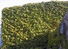 Τοίχος κισσών που καλύπτεται με τον κισσό 2 Στοκ φωτογραφία με δικαίωμα ελεύθερης χρήσης