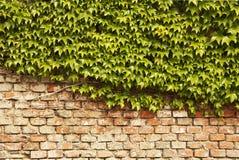 τοίχος κισσών Στοκ εικόνες με δικαίωμα ελεύθερης χρήσης