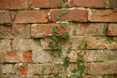 τοίχος κισσών Στοκ Φωτογραφίες