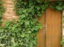 τοίχος κισσών Στοκ Φωτογραφία