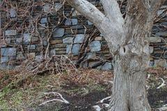 Τοίχος μπλε πετρών με το δέντρο και τις αμπέλους Στοκ φωτογραφίες με δικαίωμα ελεύθερης χρήσης