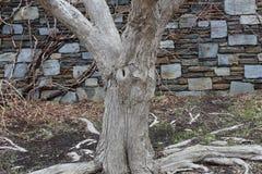 Τοίχος μπλε πετρών με το δέντρο και τις ρίζες Στοκ φωτογραφία με δικαίωμα ελεύθερης χρήσης