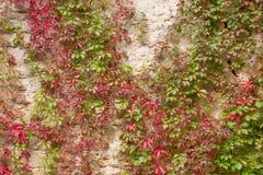 Τοίχος που εισβάλλεται με τις αμπέλους Στοκ εικόνα με δικαίωμα ελεύθερης χρήσης