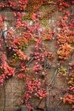 Τοίχος που καλύπτεται από το κόκκινο που αναρριχείται στο υπόβαθρο πτώσης φύλλων κισσών Στοκ εικόνα με δικαίωμα ελεύθερης χρήσης