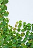 τοίχος πράσινων φυτών αναρρ Στοκ Φωτογραφία