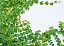 τοίχος πράσινων φυτών αναρρ Στοκ εικόνα με δικαίωμα ελεύθερης χρήσης