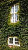 Τοίχος σπιτιών με τον κισσό μια θερινή ημέρα Δύο Windows Κάθετη όψη στοκ εικόνα