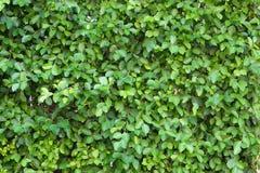Τοίχος του δέντρου Banyan, annulata Ficus, Moraceae στο υπόβαθρο, Στοκ φωτογραφία με δικαίωμα ελεύθερης χρήσης