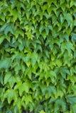 Τοίχος του κισσού (έλικας Hedera) Στοκ εικόνες με δικαίωμα ελεύθερης χρήσης