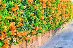 Τοίχος του πορτοκαλιού λουλουδιού σαλπίγγων Στοκ φωτογραφία με δικαίωμα ελεύθερης χρήσης