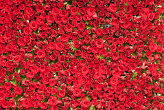 τοίχος τριαντάφυλλων στοκ εικόνα