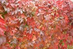 Τοίχος των σταφυλιών κοριτσιών τα κόκκινα φύλλα στοκ εικόνες