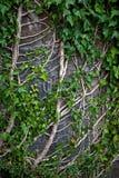 τοίχος φυτών αναρριχητικών φυτών Στοκ φωτογραφία με δικαίωμα ελεύθερης χρήσης