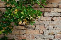 τοίχος φυτών τούβλου Στοκ Φωτογραφία