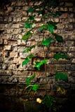 τοίχος φυτών τούβλου Στοκ Εικόνες