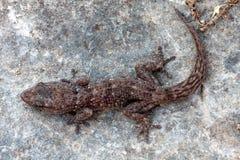 Τοίχος Gecko Boettger - boettgen Tarantola Στοκ Εικόνες